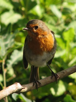 A Robin in the Leitrm Countryside